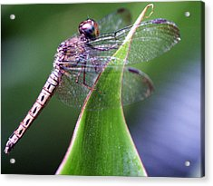 Brown Dragonfly Acrylic Print
