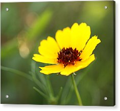 Brown Eyed Susan Acrylic Print