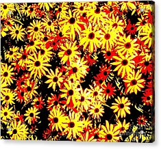 Brown Eyed Susans I Acrylic Print by Peter Gumaer Ogden
