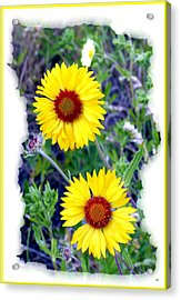 Brown- Eyed Susans Acrylic Print