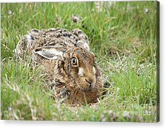 Brown Hare Acrylic Print by Philip Pound