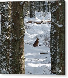 Brown Hare - Snow Wood Acrylic Print