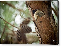 Brown Headed Nuthatch Acrylic Print by Linda Unger