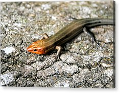Brown Headed Skink Acrylic Print