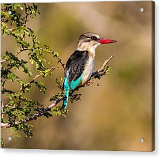 Brown Hooded Kingfisher Acrylic Print by Craig Brown
