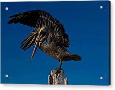 Brown King Pelican Acrylic Print by Kristine Patti
