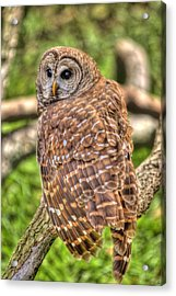 Brown Owl Acrylic Print by Donald Williams