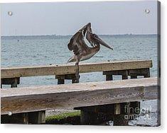 Brown Pelican 1 Acrylic Print