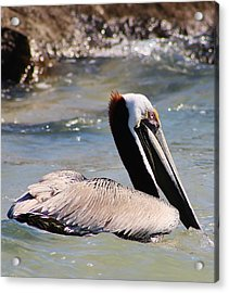 Brown Pelican Acrylic Print by Bruce Bley