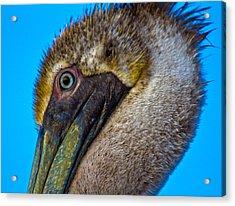 Brown Pelican Acrylic Print by Betsy Knapp