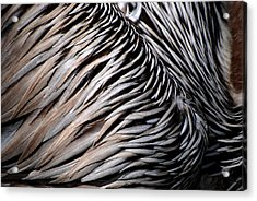Brown Pelican Feathers Acrylic Print