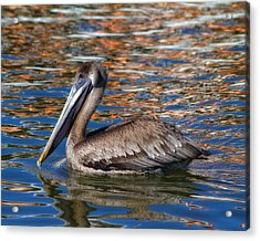 Brown Pelican - Florida Acrylic Print by Kim Hojnacki