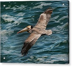 Acrylic Print featuring the photograph Brown Pelican Flying 1 by Lee Kirchhevel
