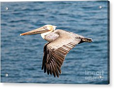 Brown Pelican Flying Acrylic Print by Darleen Stry