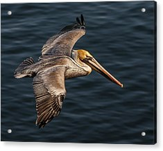 Acrylic Print featuring the photograph Brown Pelican Flying by Lee Kirchhevel