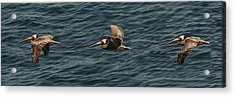Brown Pelican Flying Panorama Acrylic Print