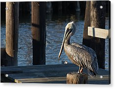 Acrylic Print featuring the photograph Brown Pelican by Gregg Southard