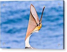 Brown Pelican - Head Throw Acrylic Print