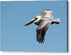 Brown Pelican In Flight Acrylic Print by Gregg Southard