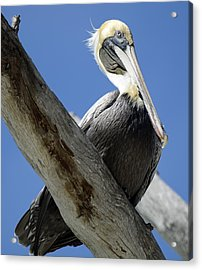 Brown Pelican In Thought Acrylic Print
