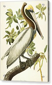 Brown Pelican Acrylic Print by John James Audubon