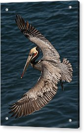 Acrylic Print featuring the photograph Brown Pelican Landing 2 by Lee Kirchhevel