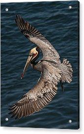 Brown Pelican Landing 2 Acrylic Print