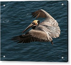 Acrylic Print featuring the photograph Brown Pelican Landing by Lee Kirchhevel