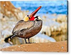 Brown Pelican Mating Season Display Acrylic Print