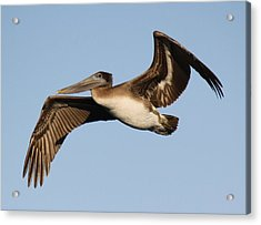 Brown Pelican Acrylic Print by Paulette Thomas