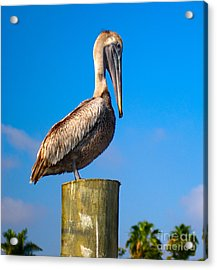 Brown Pelican - Pelecanus Occidentalis Acrylic Print by Carsten Reisinger