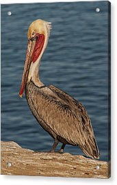 Acrylic Print featuring the photograph Brown Pelican Portrait 2 by Lee Kirchhevel