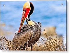 Brown Pelican Posing Acrylic Print