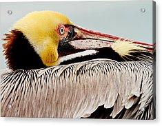 Brown Pelican Profile Acrylic Print