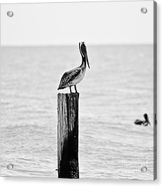 Brown Pelican Acrylic Print by Scott Pellegrin