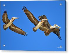 Acrylic Print featuring the photograph Brown Pelicans In Flight by Debra Martz