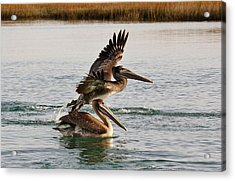 Brown Pelicans In The Marsh Acrylic Print by Paulette Thomas