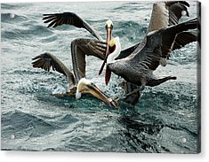 Brown Pelicans Stealing Food Acrylic Print by Christopher Swann