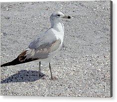 Brown Tailed Gull Acrylic Print