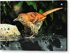 Brown Thrasher Acrylic Print by Dennis Baswell