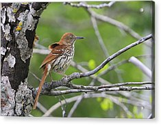 Brown Thrasher Acrylic Print by Gary Hall