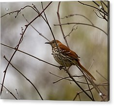 Brown Thrasher Acrylic Print by Timothy McIntyre