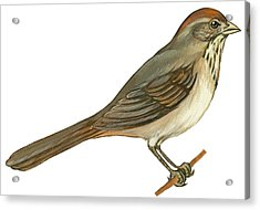 Brown Towhee Acrylic Print by Anonymous