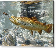 Brown Trout And Crawdad Acrylic Print