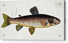 Brown Trout Acrylic Print by Andreas Ludwig Kruger