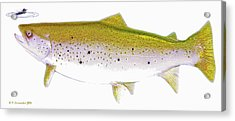 Brown Trout Rises To The Fly Digital Art Acrylic Print by A Gurmankin