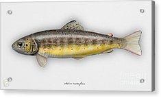 Brown Trout - Salmo Trutta Morpha Fario - Salmo Trutta Fario - Game Fish - Flyfishing Acrylic Print