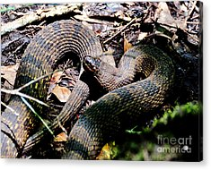 Acrylic Print featuring the photograph Brown Water Snake by Kathy Baccari