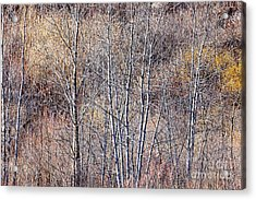 Brown Winter Forest With Bare Trees Acrylic Print by Elena Elisseeva