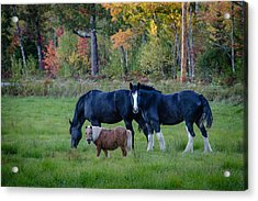 Brownfield Horses Acrylic Print